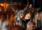 cows in slaughter house
