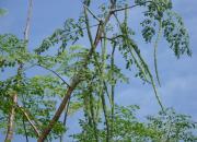 drumstick-tree