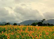 gundlupet sunflower